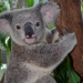 koala79