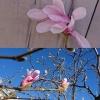 Magnoliaträdet på innergården i slutet av april