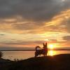 Min hund vid solnedgången 180730 på campingen