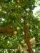 Persikoträd passerar man vid besök på toaletten