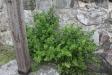 Vid korsets fot växer några krusbärsbuskar.