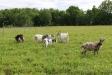 På fältet invid betar ett flertal getter.