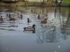 Änder i dammen nedanför vår stuga