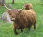 Highland cattle betar i hagarna