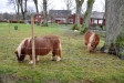 Det finns även små hästar i en hage på kyrkogården under tiden för ´Levande julkrubba´
