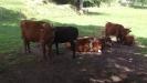 Kor på Kulturens östarp